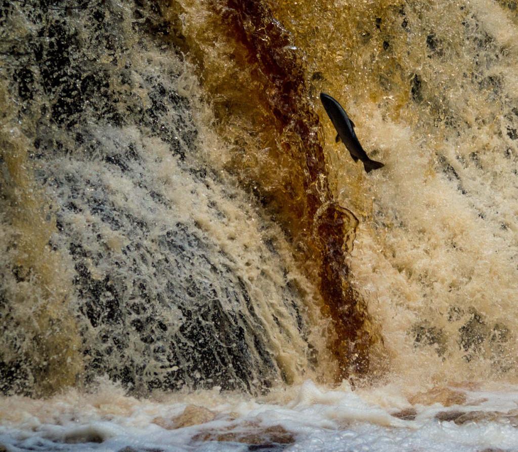 A Salmon jumping up waterfall